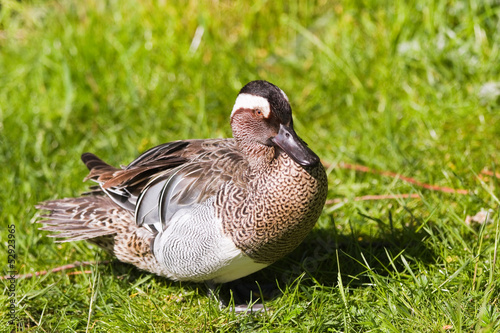 Garganey or Anas querquedula on grass