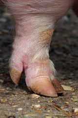 Leg and hoof a domestic pig
