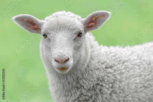 Deurstickers Schapen Face of a white lamb