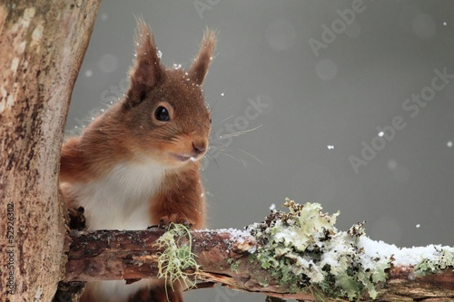 In de dag Eekhoorn Red Squirrel (Sciurus vulgaris) in Falling Snow