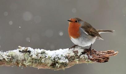Robin in Falling Snow