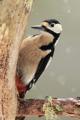Great Spotted Woodpecker in Winter