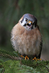 Screeching American Kestrel (Falco sparverius)