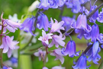 Bluebells meadow