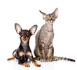 devon rex cat and toy-terrier puppy together. looking at camera.