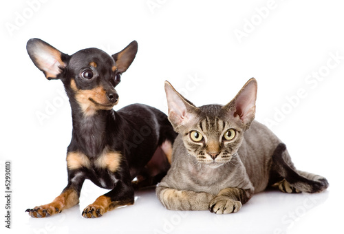 Deurstickers Franse bulldog devon rex cat and toy-terrier puppy together. looking at camera.