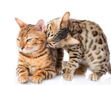 two  Bengal cats (Prionailurus bengalensis). isolated on white