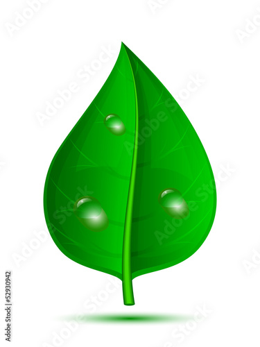 Green leaf with drops of water isolated on a white background, v