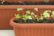 Young seedlings of parsley and lettuce in pots close up