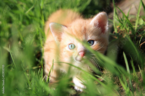 Small red hair  kitten
