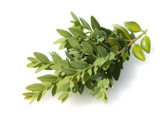 Buchsbaum, Buxus sempervirens