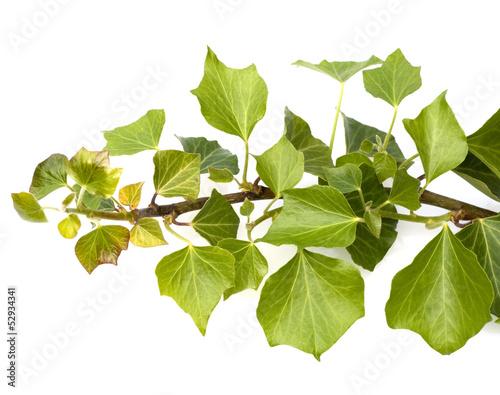 Gamesageddon efeu lizenzfreie fotos vektoren und - Efeu zimmerpflanze giftig ...