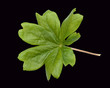 Maiapfel; Podophyllum peltatum;