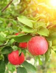 Crop of apples