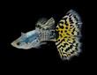 fish guppy pet isolated on black background