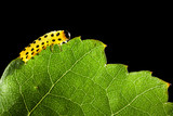 Yellow caterpillar eating green leaf
