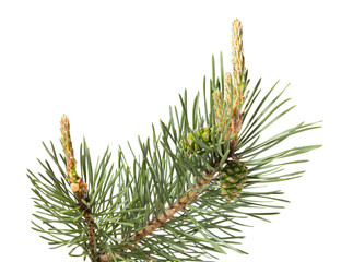 Pine brunch isolated on white