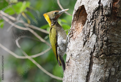 Greater Yellownape woodpecker (Picus flavinucha)