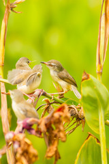 Female of Plain Prinia giving the food to her cubs
