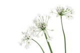 Allium neapolitanum isolated on white background