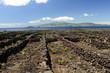 Dans les vignes de l'île de Pico aux Açores