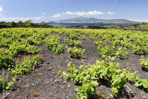 Autour des vignes de l'île du Pico aux Açores