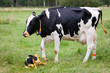 mother cow with newborn calf on pasture