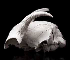 goat skull