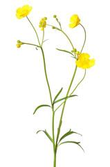 Ranunculus acris flower