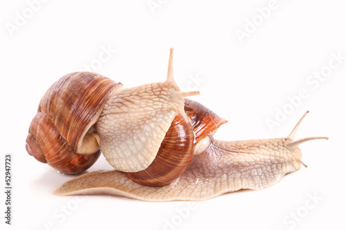 Weinbergschnecken, graipevine snail