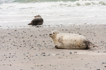 Seehund an der Nordsee, Harbor seal at the North Sea