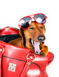 Dog yawns looking out red bags