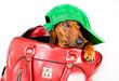 A dog in a green cap