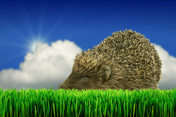 Grey hedgehog on the grass