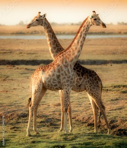 Fototapeta Two beautiful giraffes in Africa