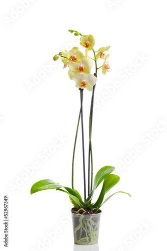 Orchid in the pot isolated in white