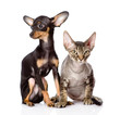 devon rex cat and toy-terrier puppy sitting together.