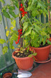 tomato plant in pots on the terrace with a shovel to dig