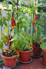 Red cluster tomato in a cultivated plant in town on a balcony