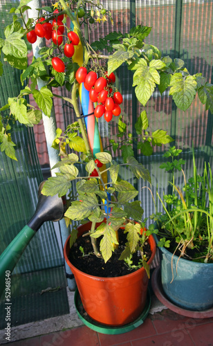 red tomatoes in pots on the terrace and a watering can