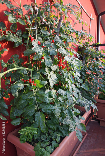 tomato plants with fruits grown in a pot on the terrace