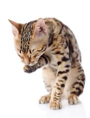 Bengal Cat washing itself. isolated on white background