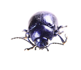 beautiful metallic blue beetle ,Beetle Agelastica alni.