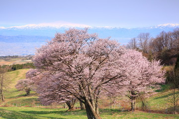 Cherry tree and Mt. Gassan, Yamagata, Japan
