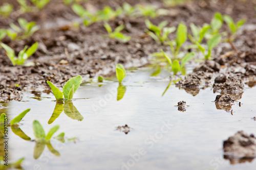 Leinwandbild Motiv Überschwemmtes Getreidefeld