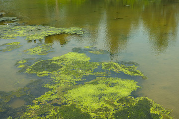 algae in pond