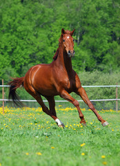 Beautiful Horse gallops