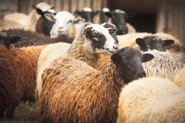 Many Sheep
