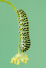 Common yellow swallowtail on the plant of fennel