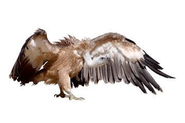 vulture griffon